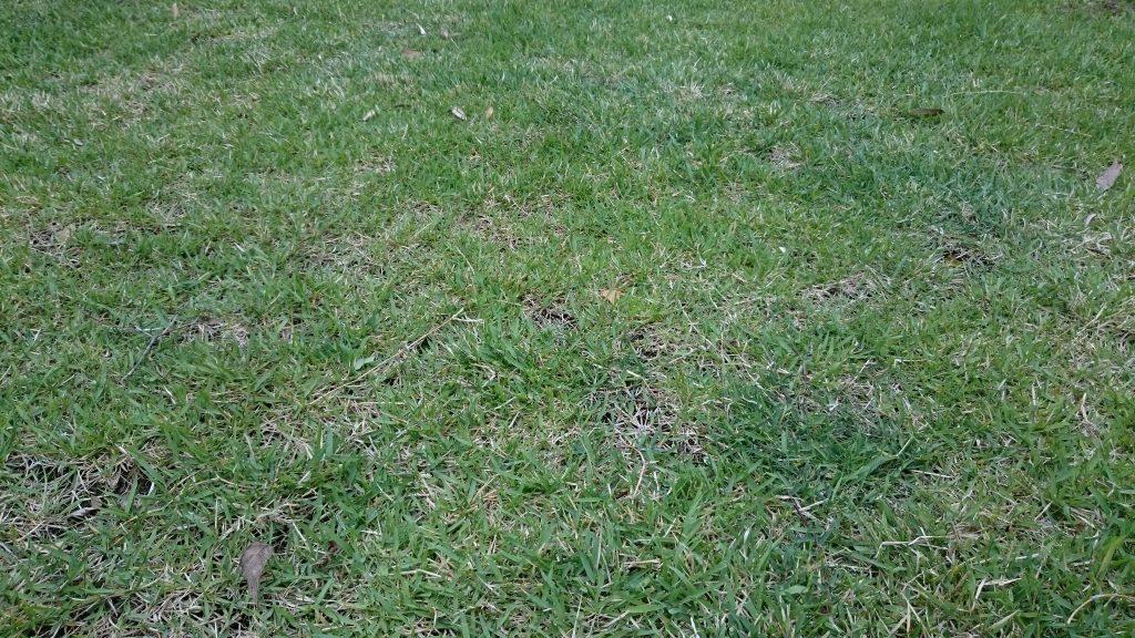 4月中旬の野芝(ノシバ)ゼニス